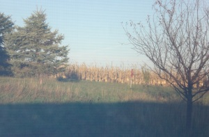 corn-out-my-window